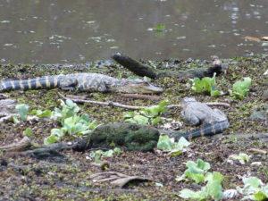 Alligatorennachwuchs
