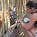 Kangurus füttern